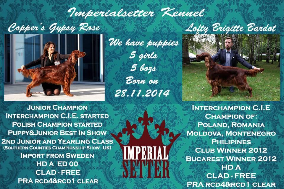 zapowiedz miotu Imperialsetter 29-11-2014