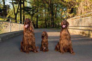 hodowla Imperialsetter psy na moście w Świerklańcu