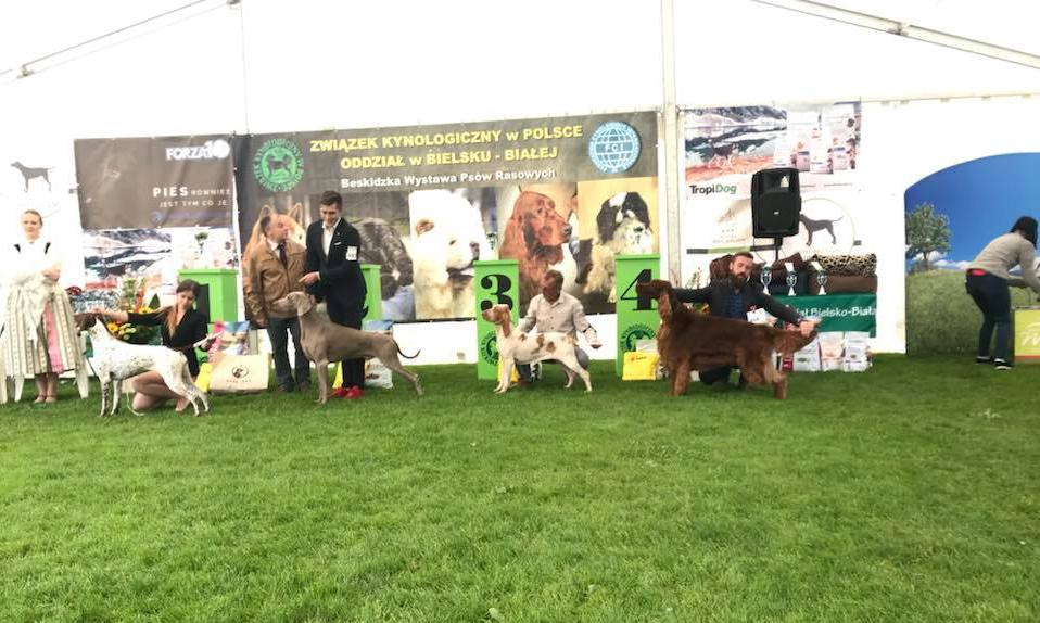 Imperialsetter ROYAL DREAM won 1 ex, Best dog, Best of Breed and BEST IN GROUP IV