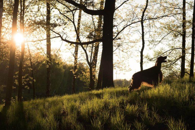 Kontakt do Imperialsetter - zdjecie setera w lesie o zachodzie słońca