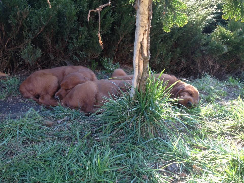 seter irlandzki szczeniak miot N w ogródku