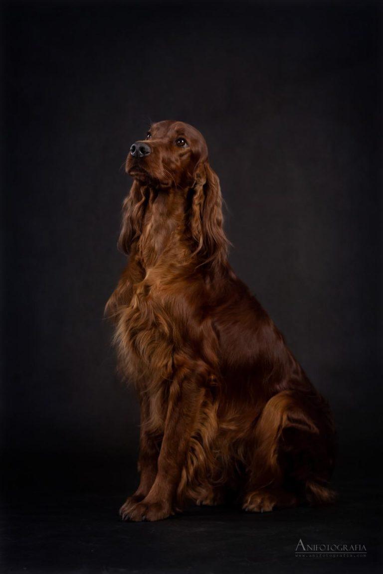 Lola Imperiasetter Sunshine cały pies na czarnym tle